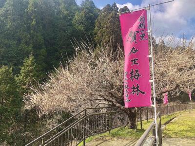 桜も良いけど梅も良いよ‼奈良の三大梅林に行ってみよう‼[賀名生梅林]